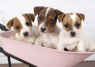 Roxy's pups in wheelbarrow