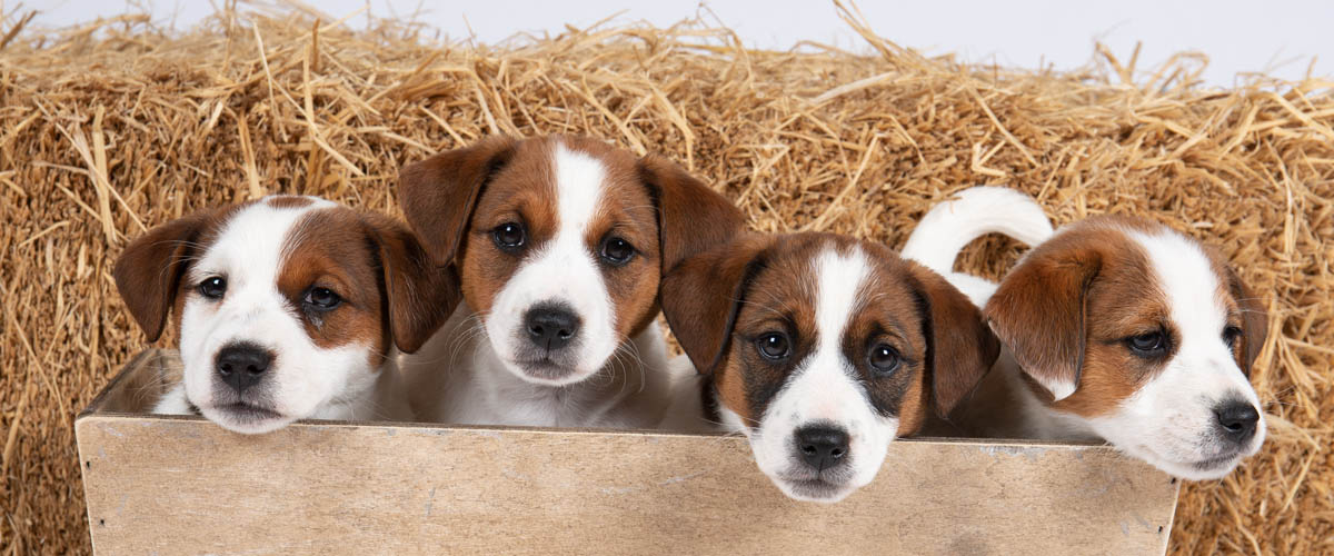 Rubys puppies